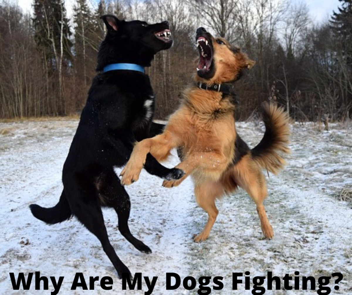 Why Are My Dogs Suddenly Fighting