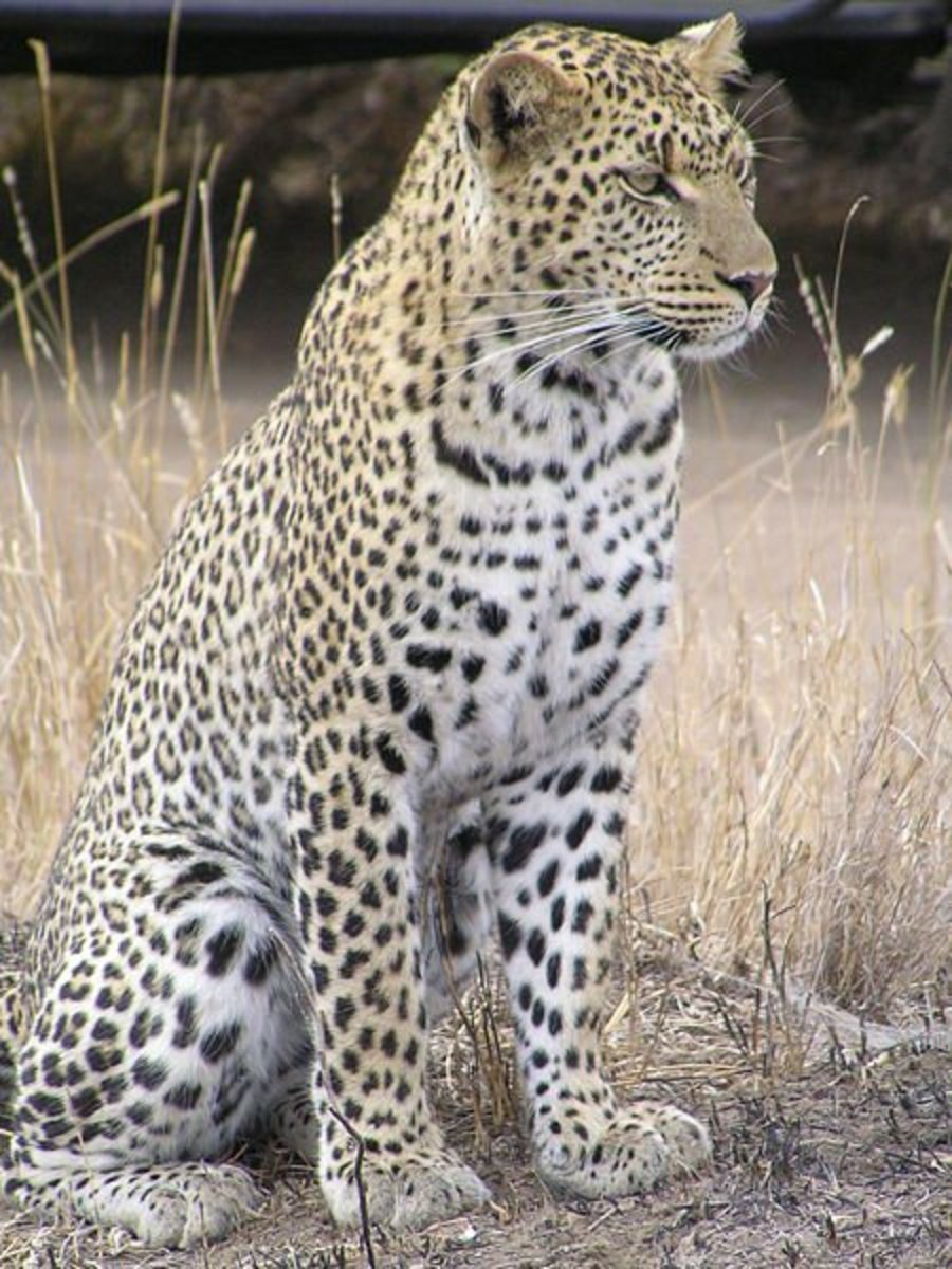 The leopard is the most elusive and widespread of the big cats, found across Africa and Asia.