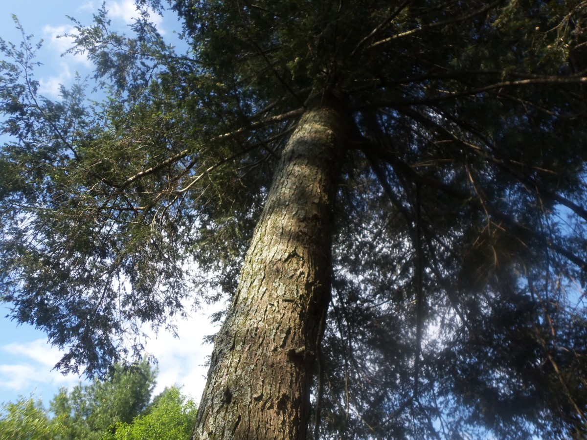 Can Endangered Eastern and Carolina Hemlocks Be Saved?