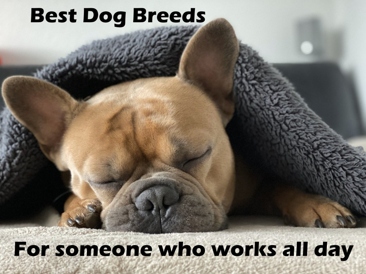 The best dog breeds for someone who works all day.