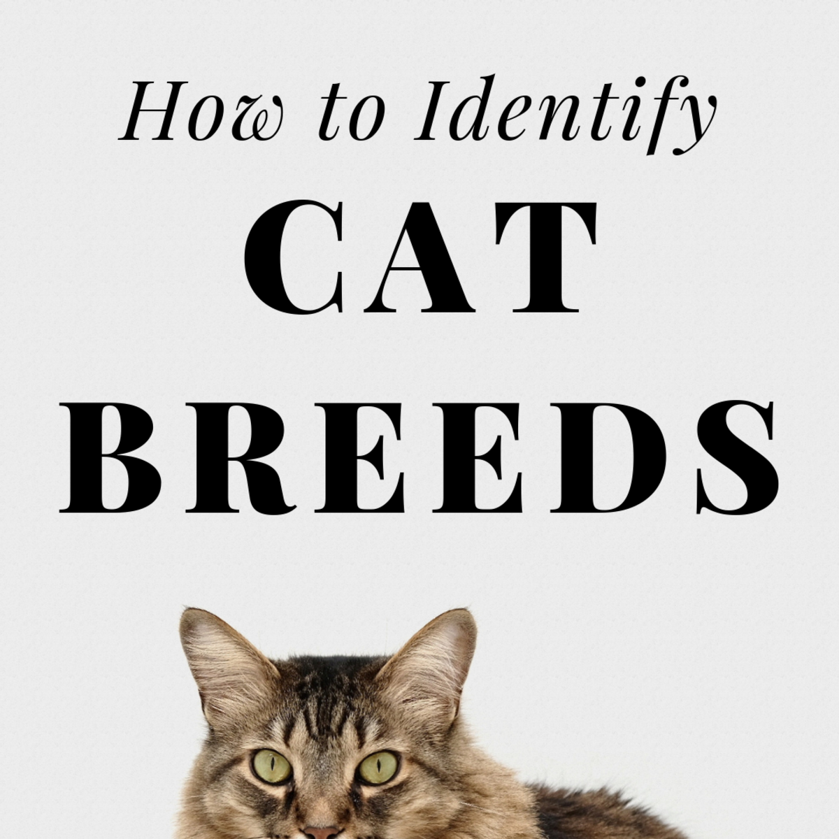 From Ear Tufts to Fluffy Tails: How to Identify Your Pet Cat's Breed