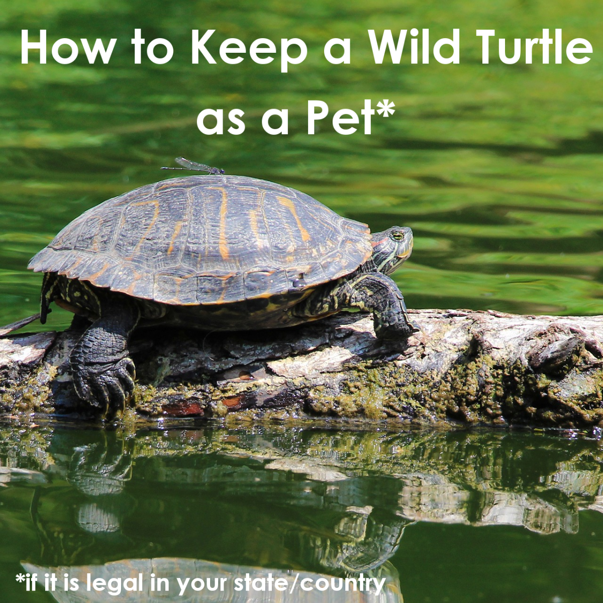Discover how to provide the proper habitat, lighting and overall care for a wild turtle.