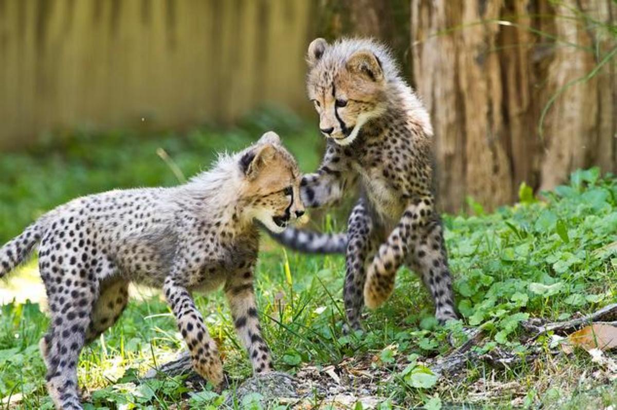 Two cheetah cubs play