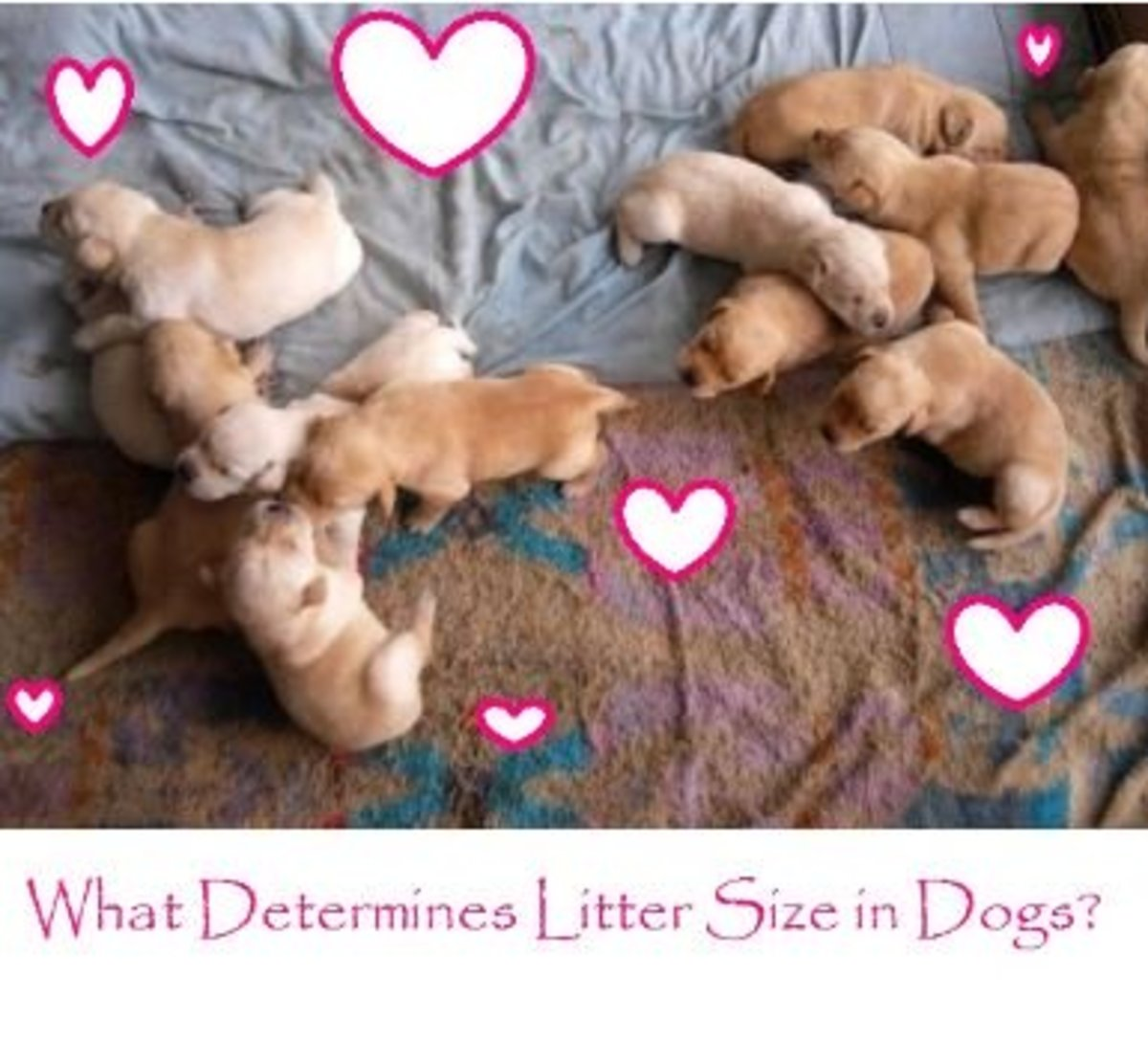 What Determines Litter Size Litter in Dogs?