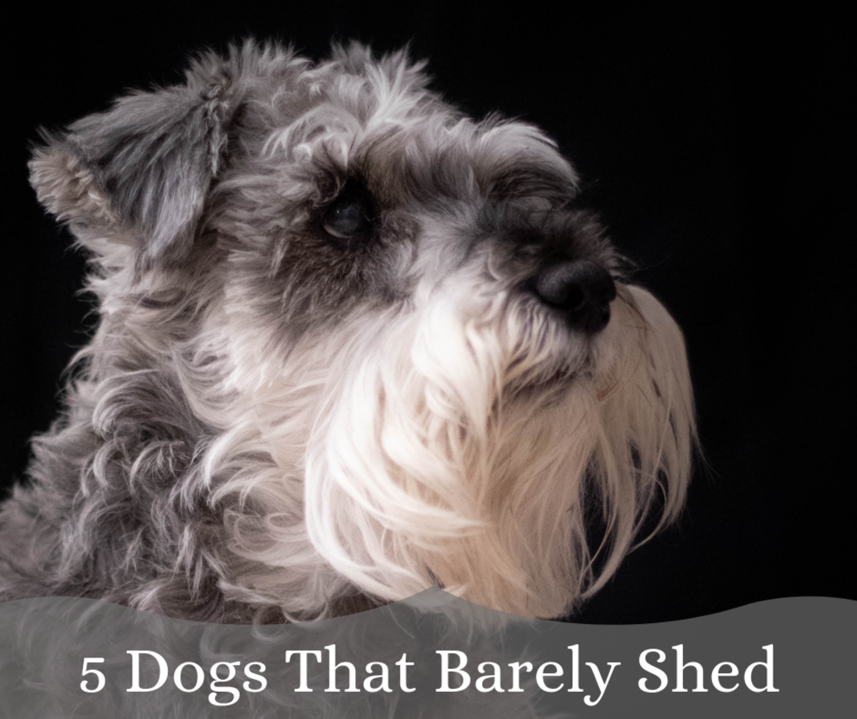 Here are five breeds of dogs that won't have you chasing after them with a vacuum cleaner.