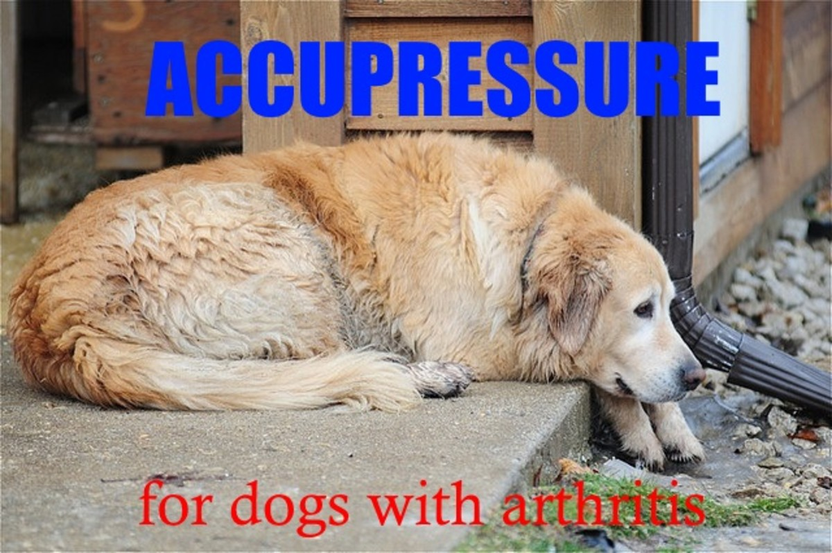 Accupressure can help some older dogs dealing with the pain of arthritis.
