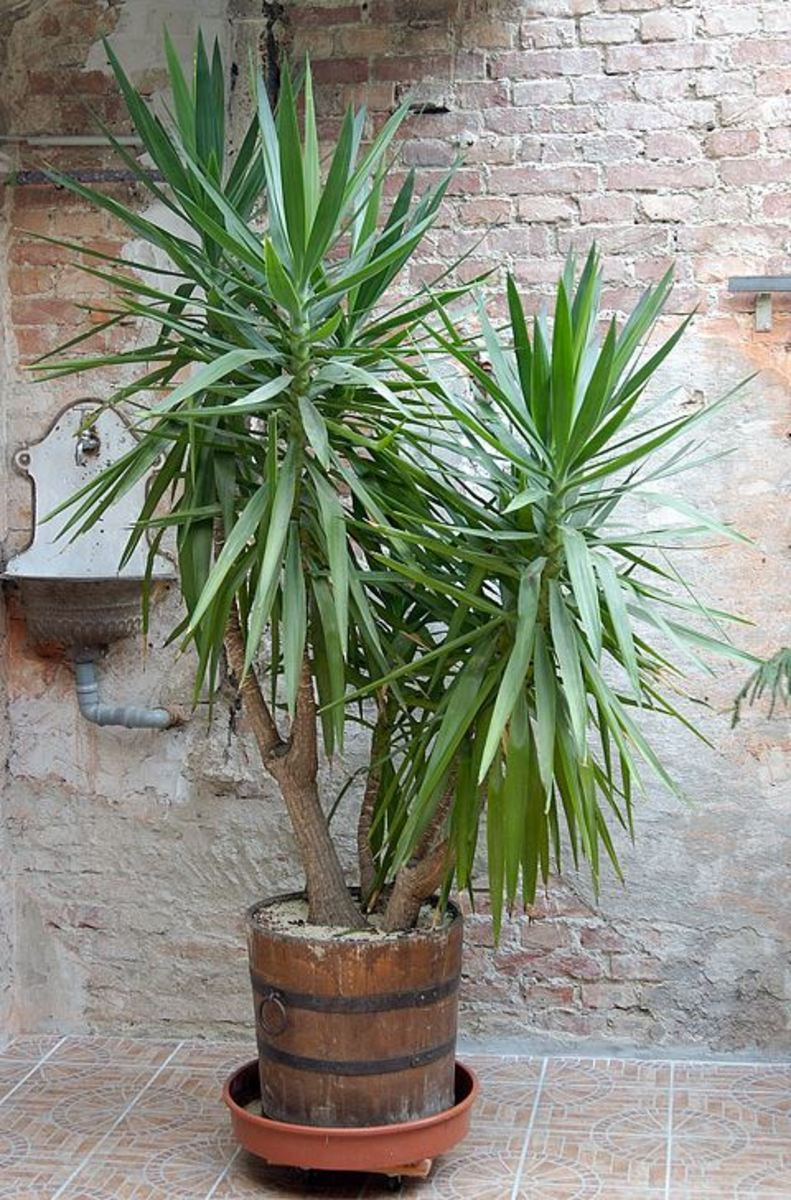 Yucca Plant Care Tips Growing Advice: The Best Way To Choose An Indoor Palm