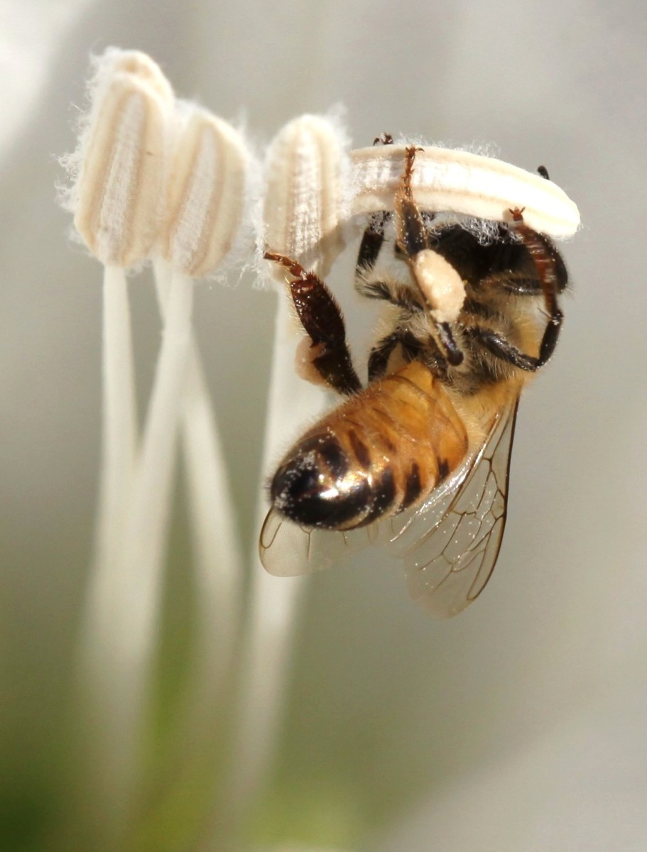 Notice the clump of pollen on this bee's leg. Bees collect and spread pollen while they feed on nectar