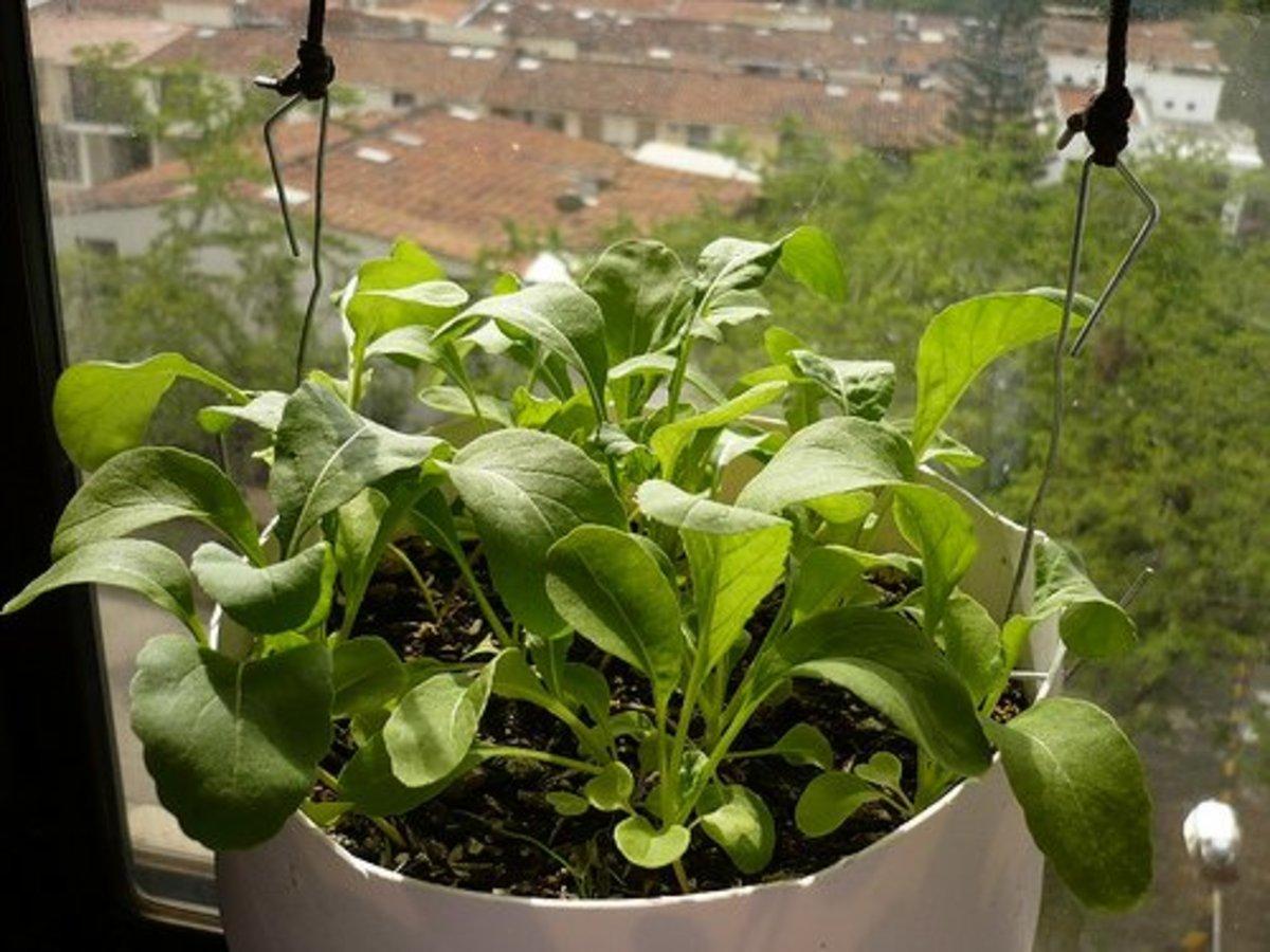 Arugula growing aloft in a sunny window.