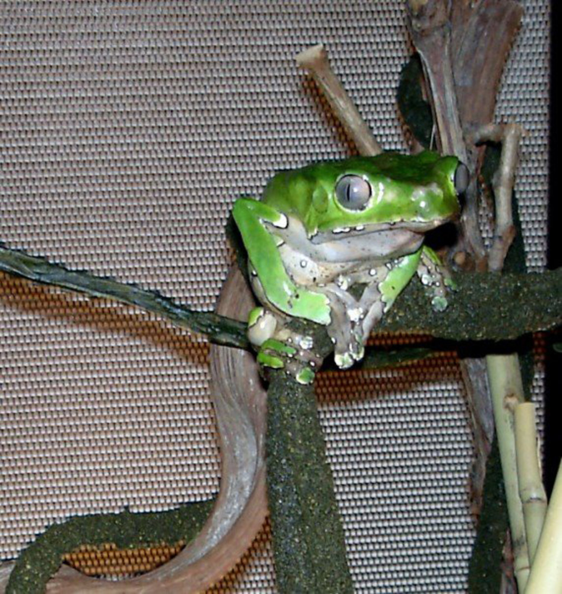 How to Care for the Giant Waxy Monkey Tree Frog