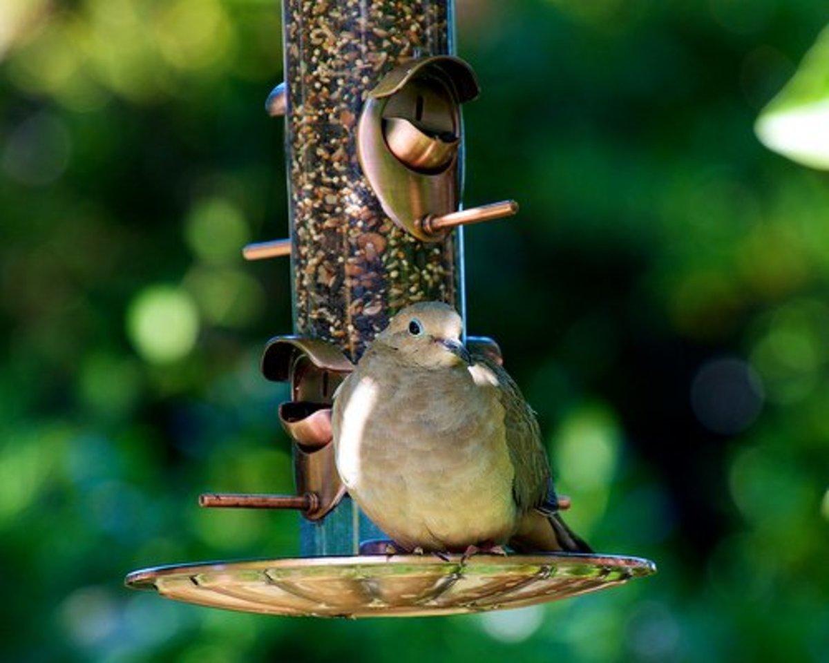 Big birds like big seeds. Doves love black oil sunflower seeds.