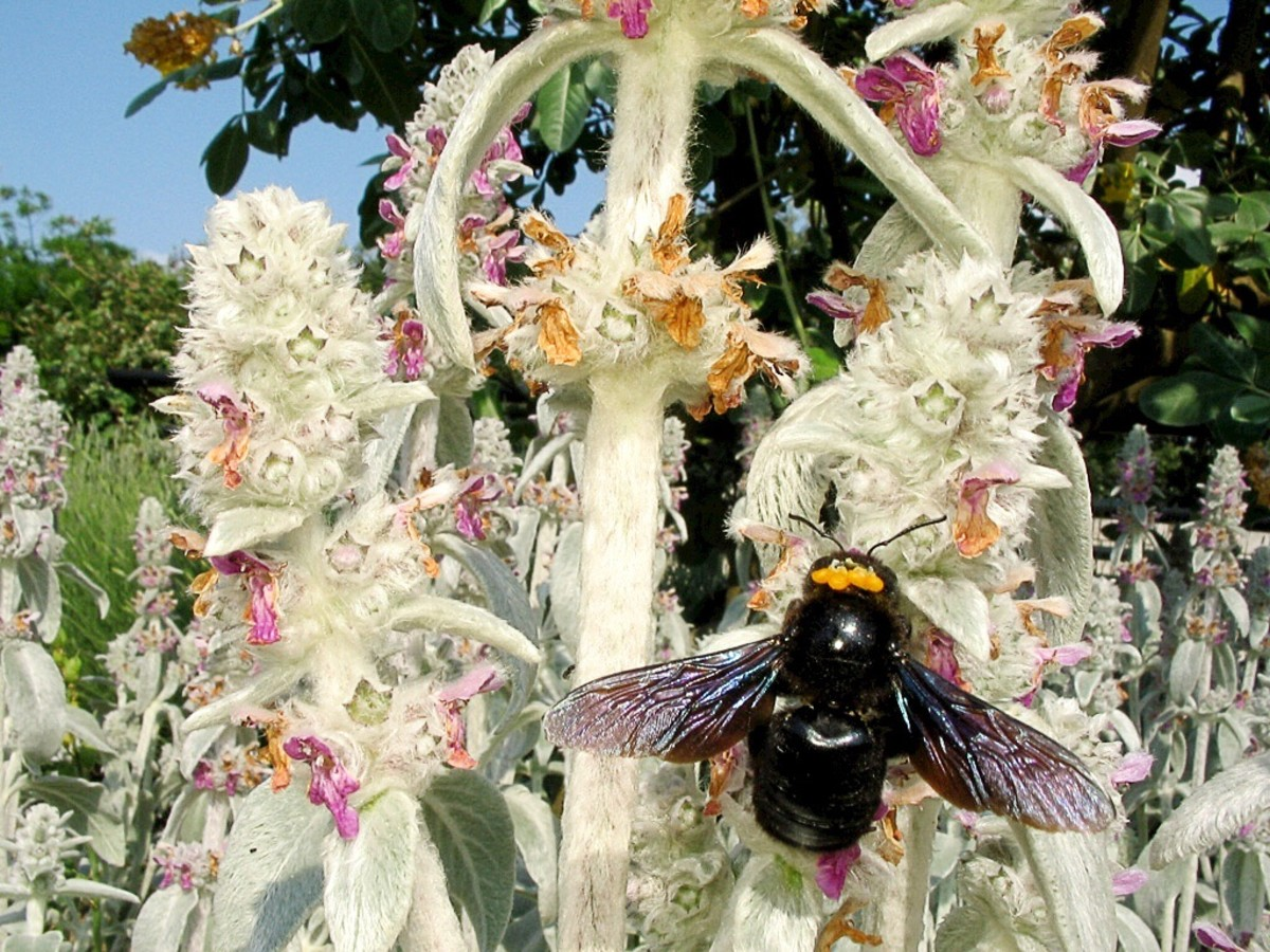 A carpenter bee bearing pollen; pollen is the cause of hay fever.
