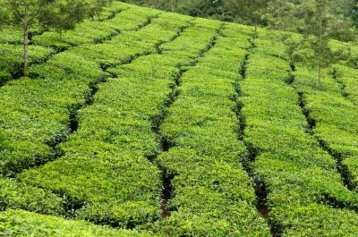 Different parts of the tea plant make up the various types and quality of tea.