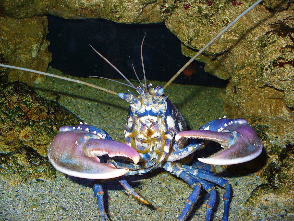 Lobster Facts, Photos and Videos - Interesting Invertebrates