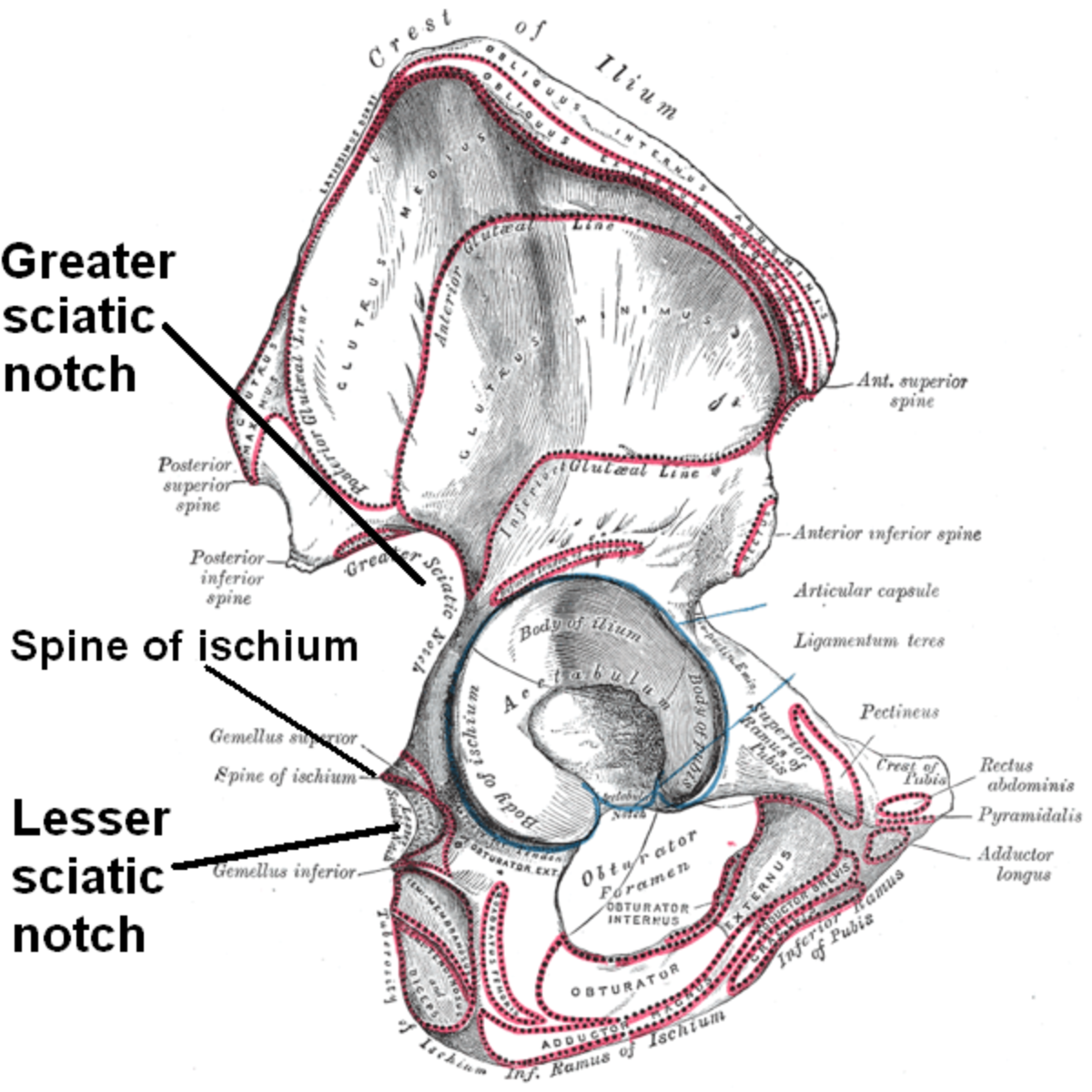 The right hip bone, external surface, showing the greater and lesser sciatic notches, separated by the ischial spine.