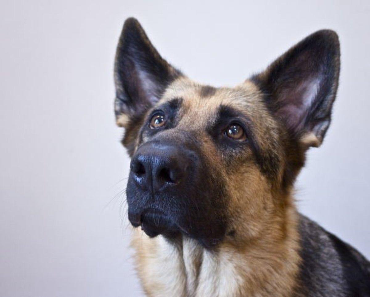 German shepherd bite inhibition is important, so teach it early!