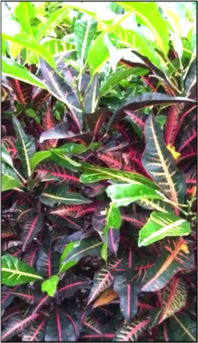 Houseplant Care for Croton or Rushfoil