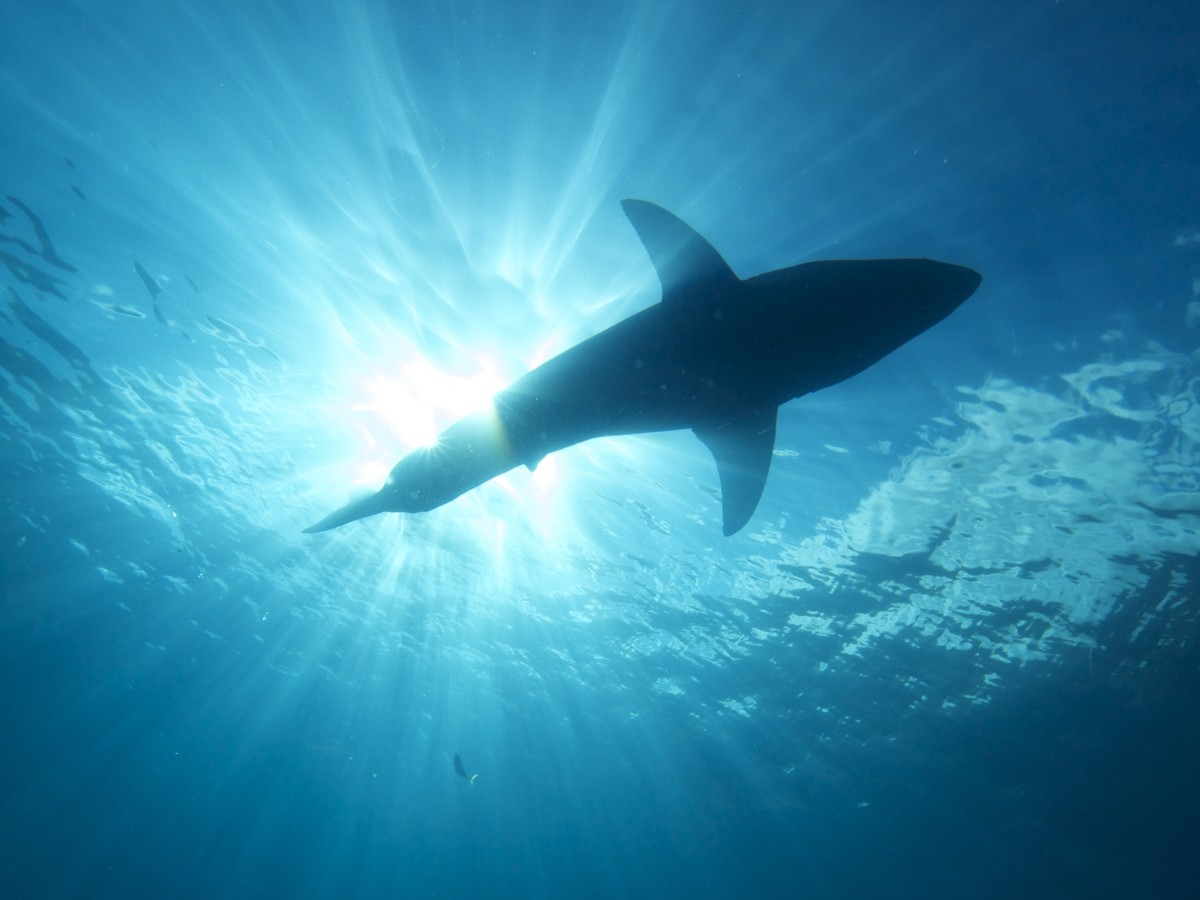 what are the biggest great white sharks ever recorded owlcation