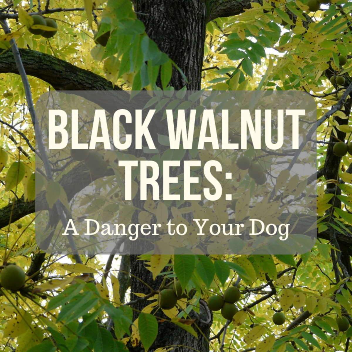 Black walnut trees can harm or even kill your canine companion.
