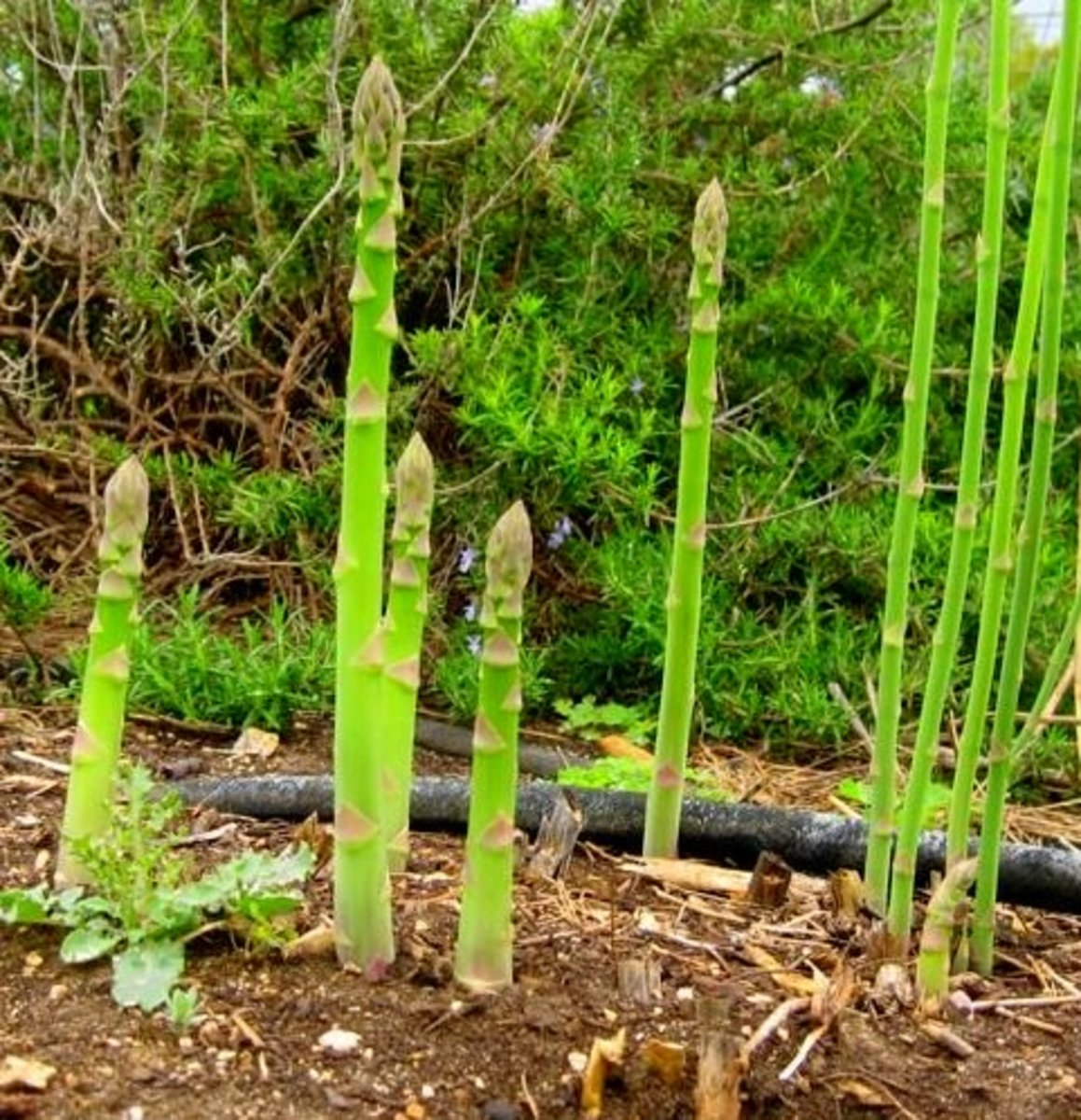 Learn how to grow, care for, and harvest asparagus