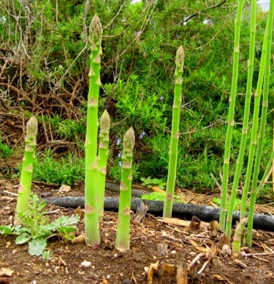 How to Grow Asparagus in Your Garden