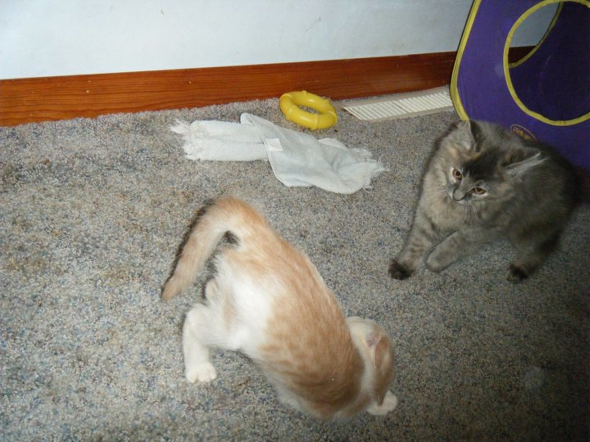 Playful kittens we adopted. They are sister's although they look nothing alike.