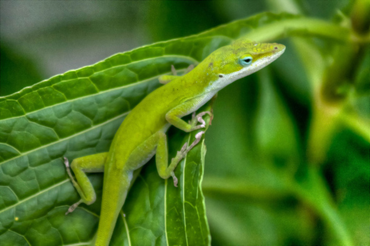 How Do Lizards Regenerate Their Tails?