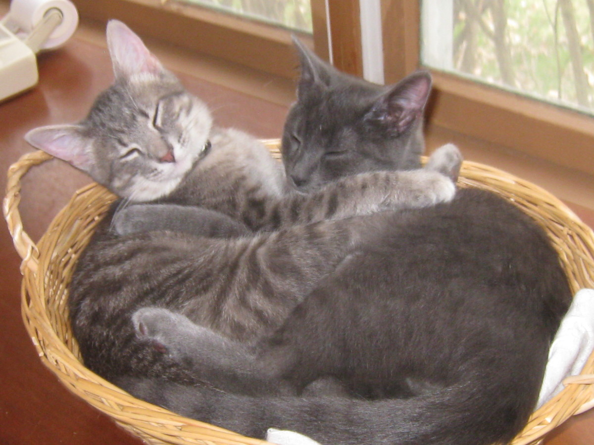 Cats and Kittens-Love Them and They Will Love You Back