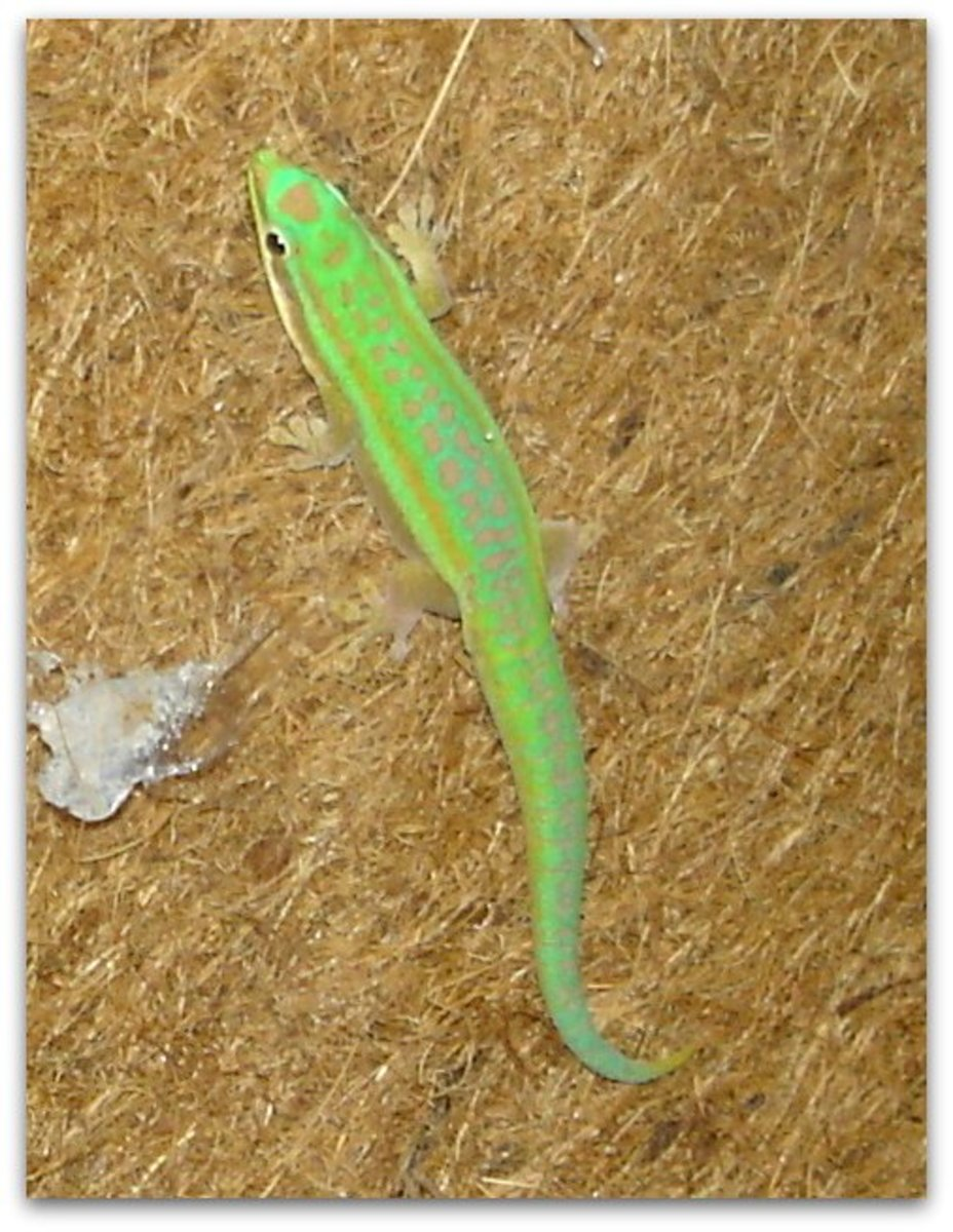 Day geckos (Phelsuma) are some of the most brightly-coloured lizards. This is a young male. As he matured, his tail became blue, living up to the common name blue-tailed gecko.