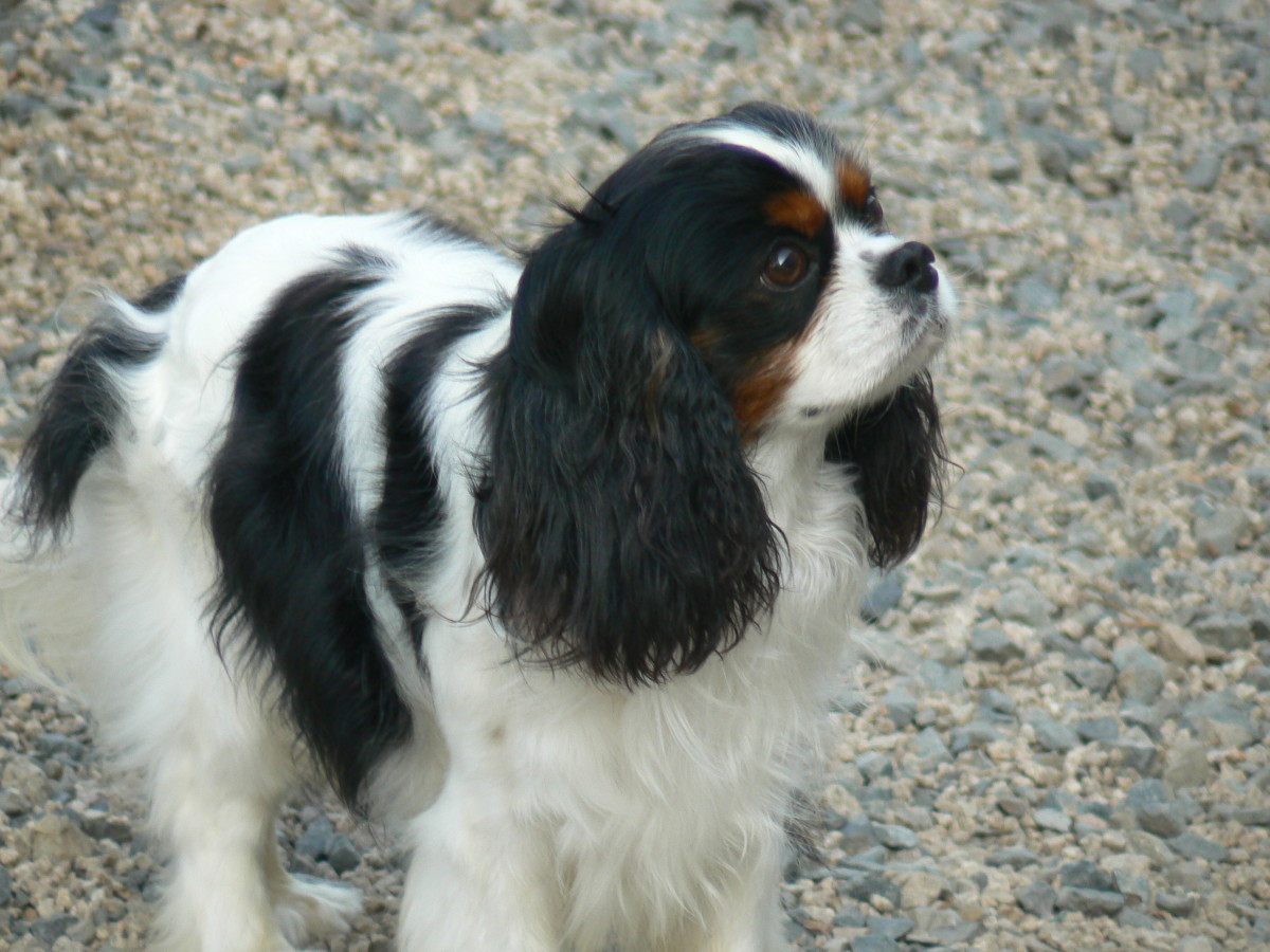 Top 5 Reasons to Own a Cavalier King Charles Spaniel ...