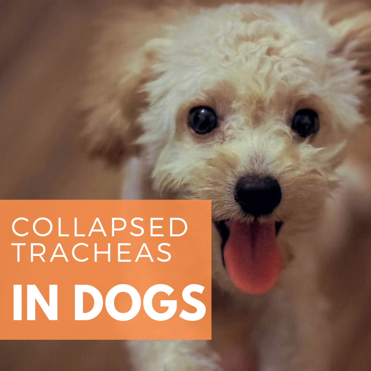 Small Dogs Are Predisposed to Collapsed Tracheas