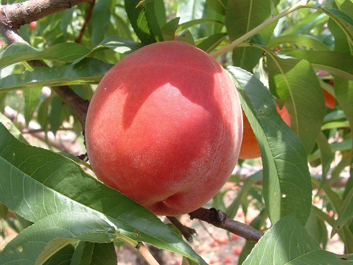 A healthy peach tree will reward you with lots of delicious fruit.