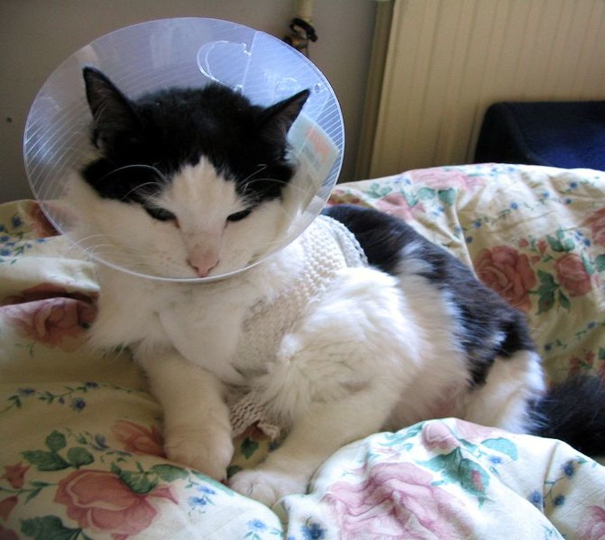 Most pets are given Elizabethan collars to wear after surgery to avoid licking and chewing at surgical wounds and sutures.