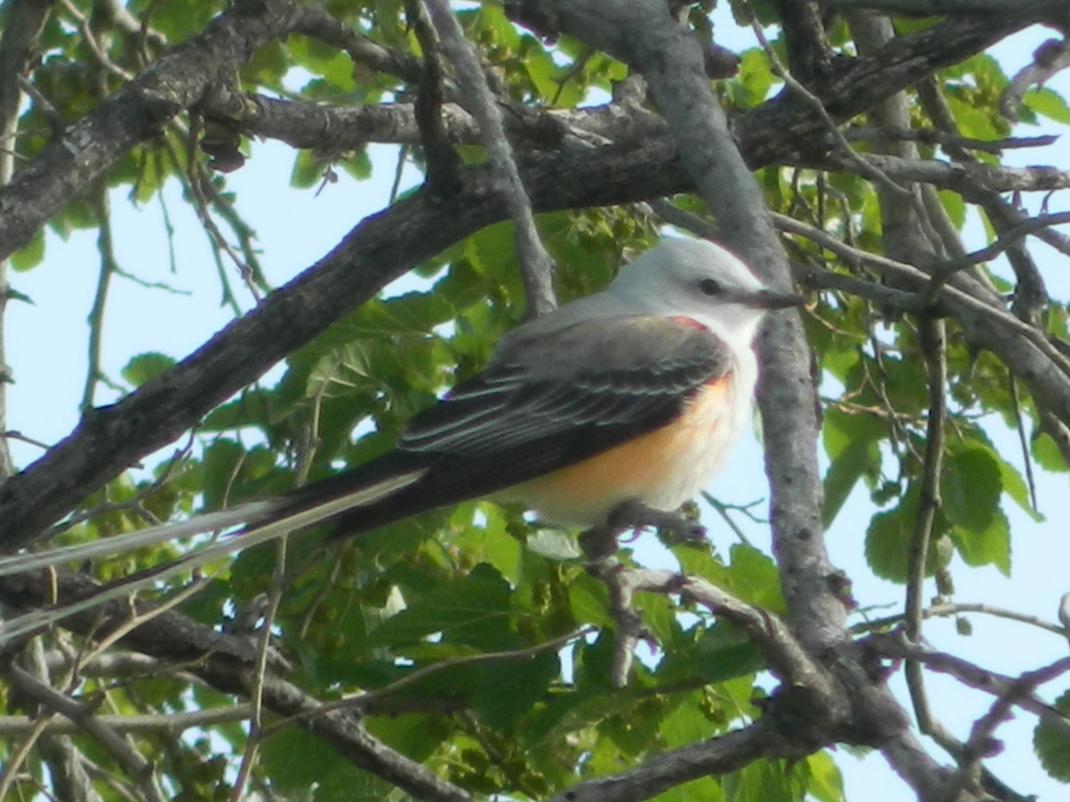 Facts About the Scissor-Tailed Flycatcher