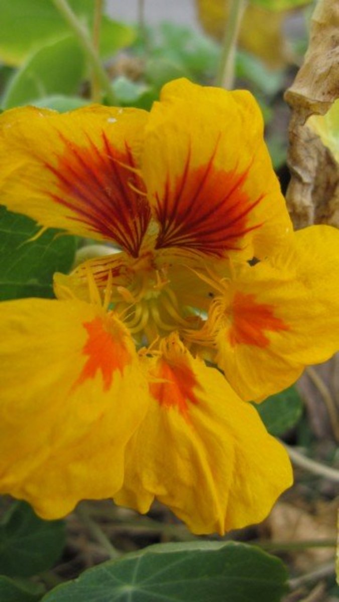 "Nasturtium (Tropaeolum majus) are bright, colorful, easy-to-grow flowers. This is the yellow variety of Tropaeolum majus ""Jewel Mix."""