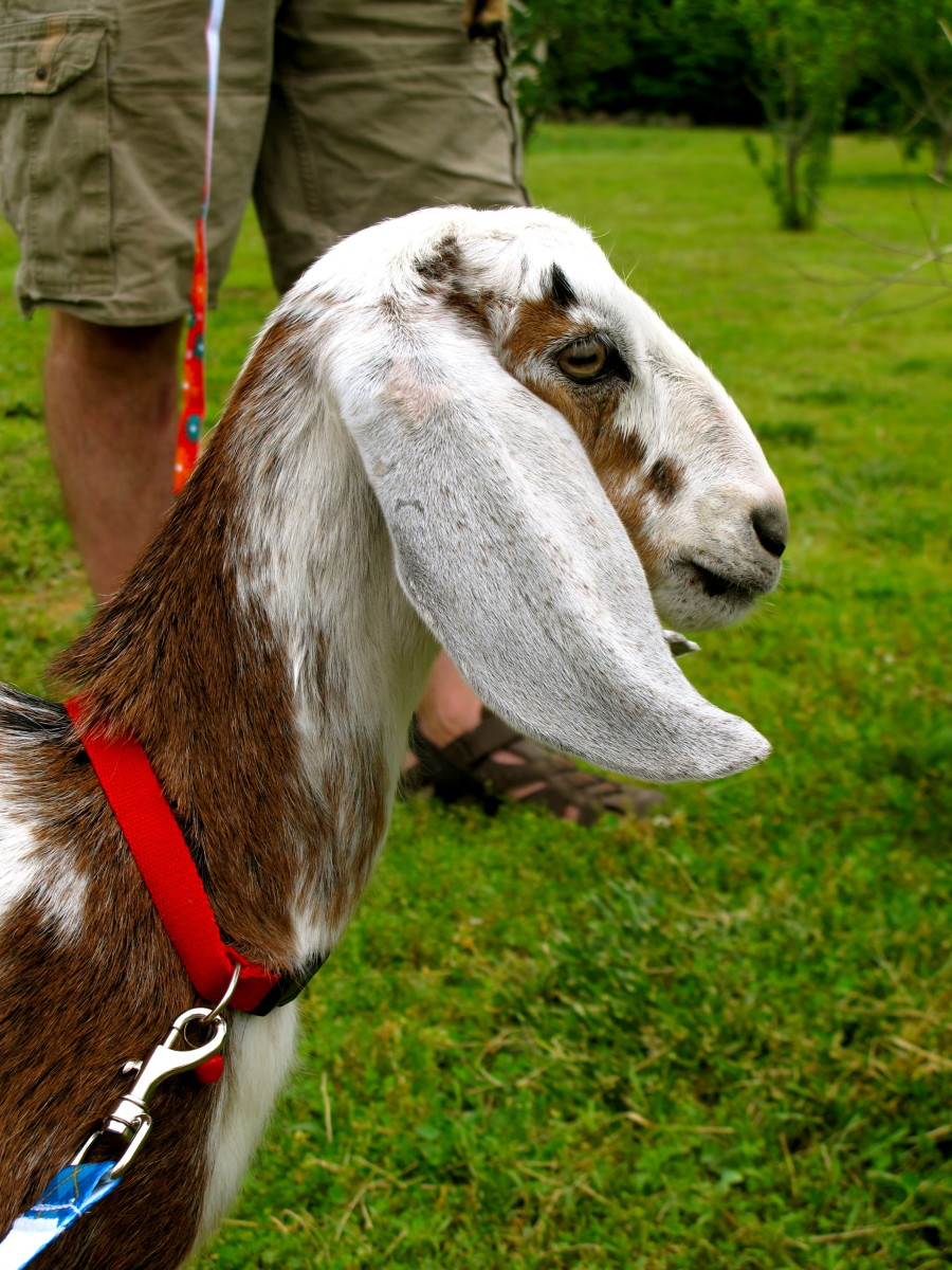 How to Raise and Care for Goats