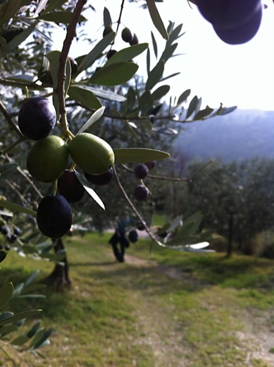 How to care for olive trees in tuscany for Olive plant care