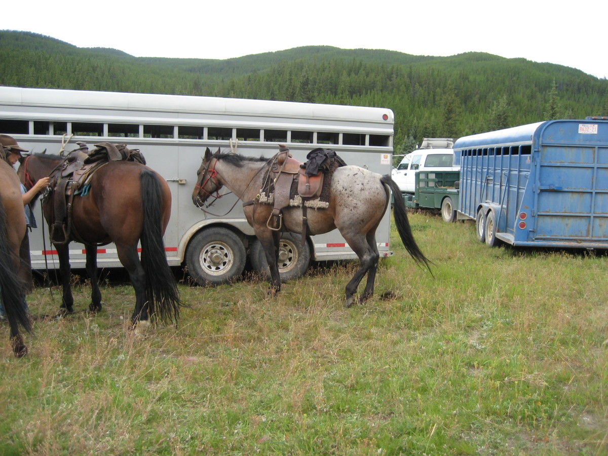 Mountain horses ready to go on the trail, wearing breast collars and back cinches.