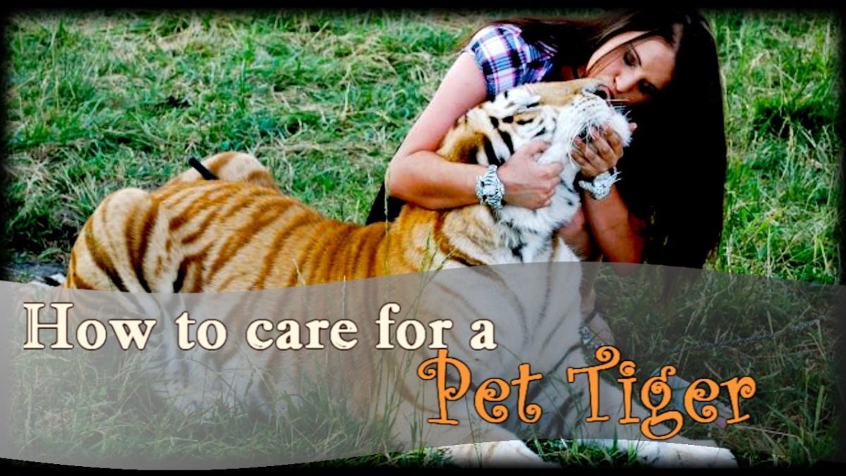 How to Care for a Pet Tiger