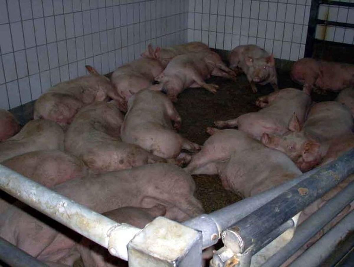 The Problem with CAFOs: Why They Are an Unsustainable System for Raising Livestock