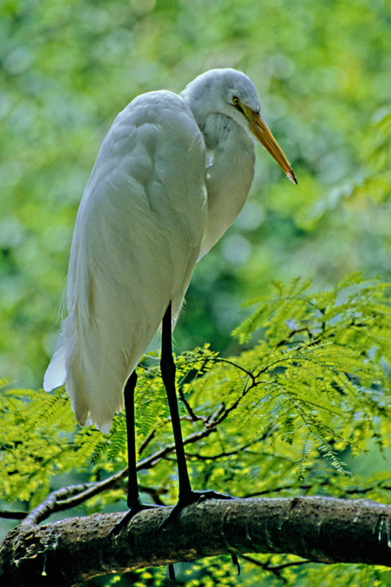 The Common Egret, photographed at Homosassa Springs