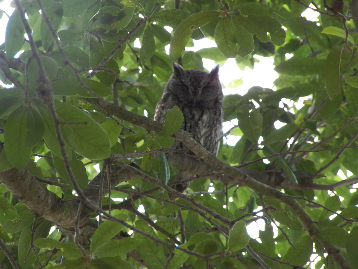 Adult Male Eastern Screech Owl in tree. The father was hidden in the leaves of the tree about 15-20 feet from the nest.  He sleeps there while the female incubates the eggs and helps her feed the babies once they hatch.