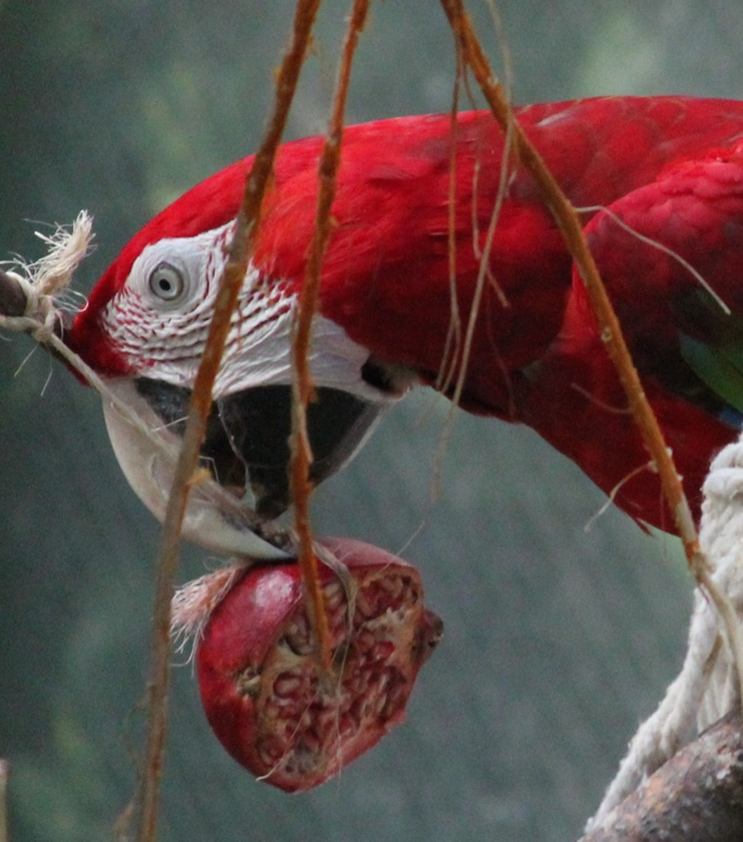 Macaw with a pomegranate at the Detroit Zoo
