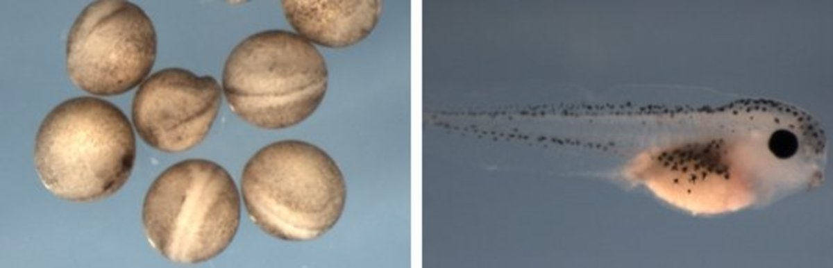 African clawed frog embryos and young tadpole