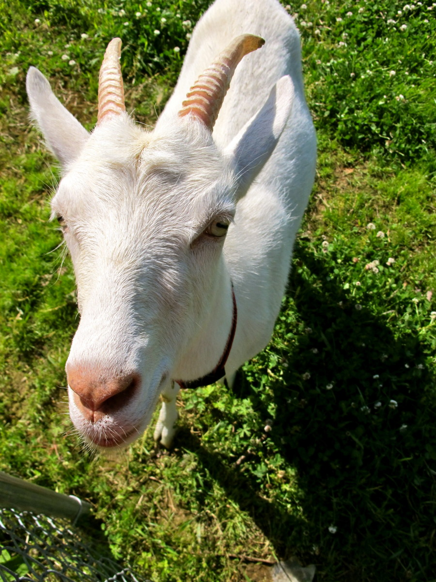 Raising Goats: How to Choose a Breed