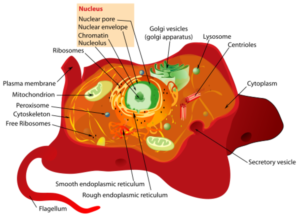 Eukaryotic Animal Cell Structure A Visual Guide Hubpages