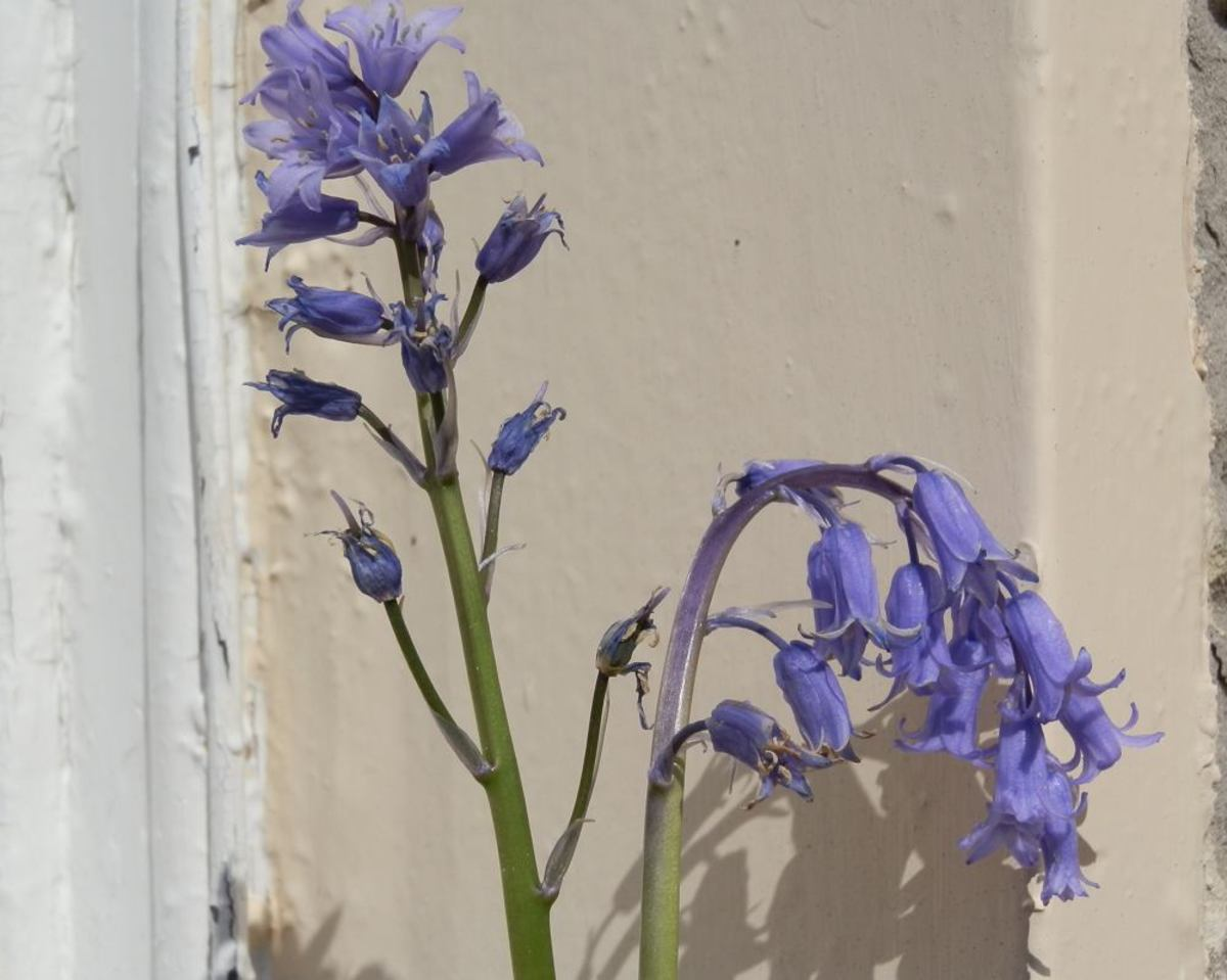 the upright Spanish bluebell on the left, and the drooping English bluebell on the right (although the English bluebell is showing signs of having crossed with the other)