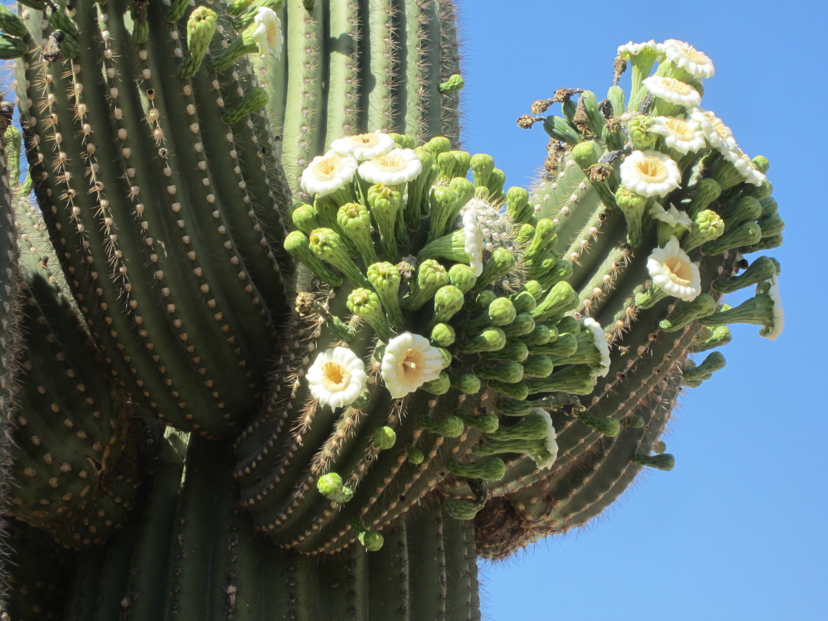 Sonoran Desert Saguaro Cactus in Bloom