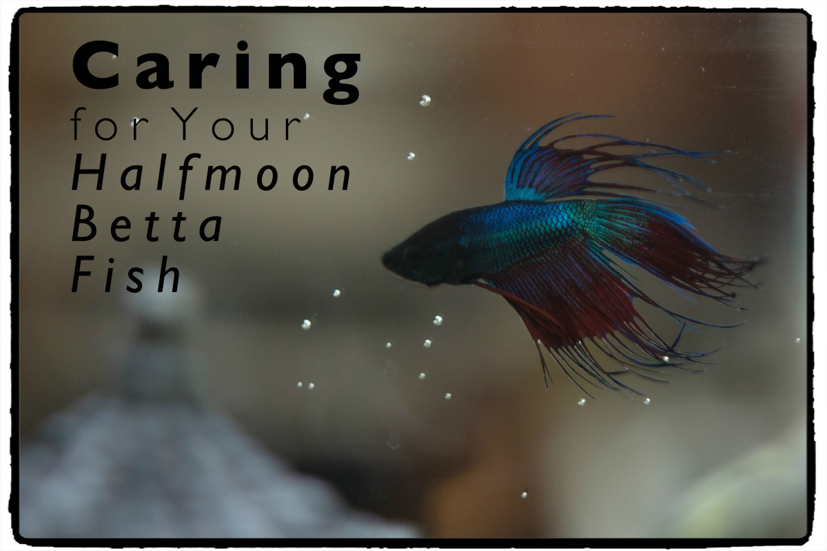 Halfmoon Betta Fish Care and Tips