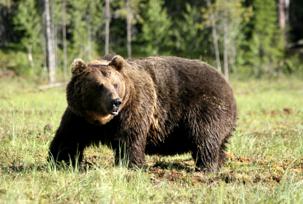 The Eurasian Brown Bear And The Syrian Brown Bear